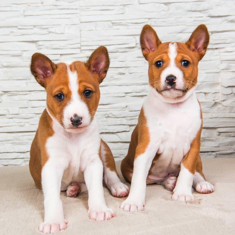 Pequeños bebés divertidos dos perros de perritos de Basenji en el fondo blanco de la pared imagen de archivo libre de regalías