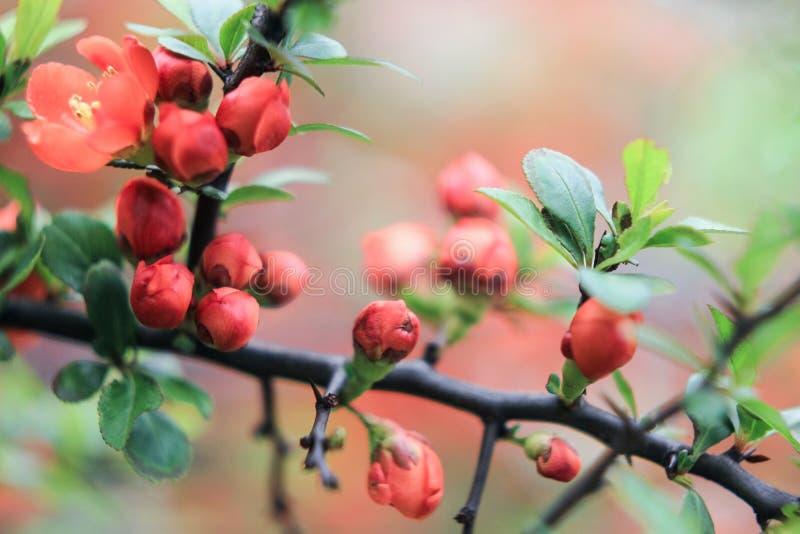 Pequeños brotes de la inflorescencia de un arbusto anaranjado imagenes de archivo