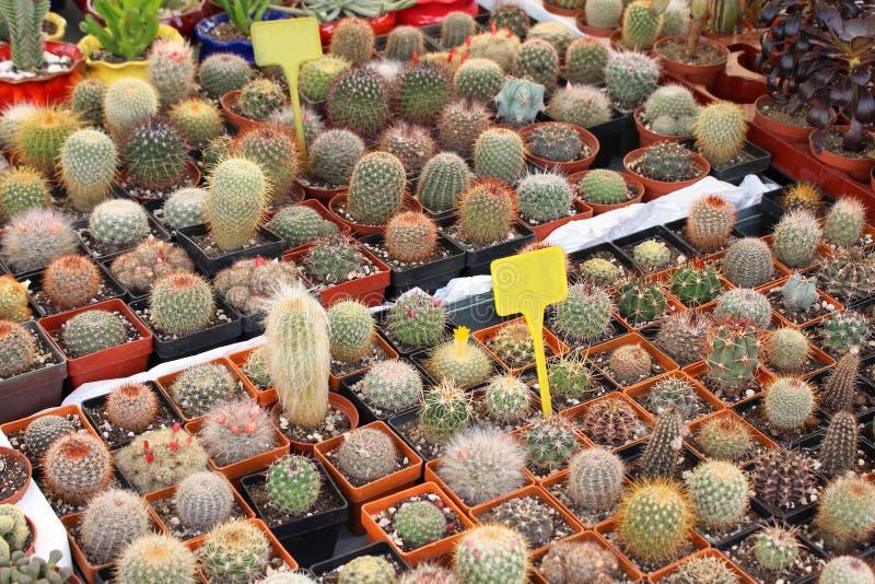 Download Pequeños cactus foto de archivo. Imagen de seco, verde - 42428562