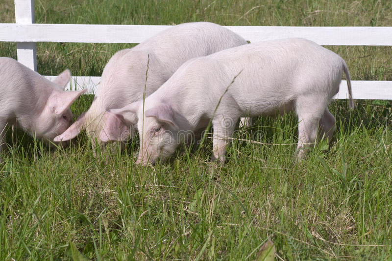 Pequeños cerdos imagenes de archivo