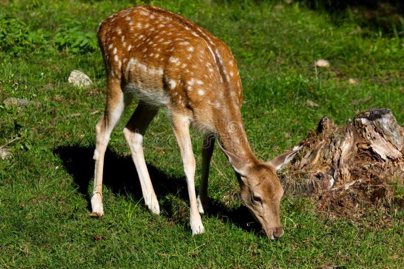 Pequeños ciervos del bebé que comen la hierba en un campo fotos de archivo