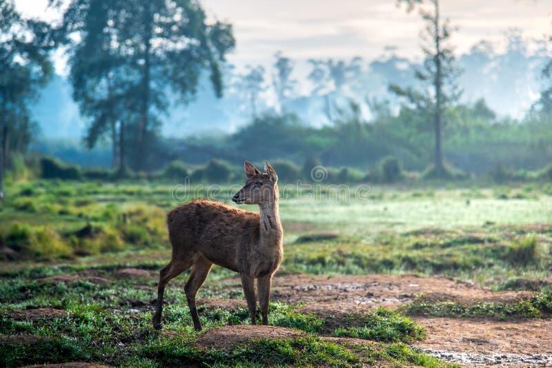 Pequeños ciervos que caminan en Muddy Grassland At Misty Morning durante salida del sol El ciervo está sin las astas imagenes de archivo