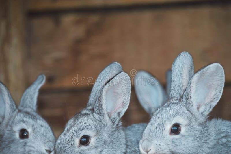 Pequeños conejitos en nuestra granja de la familia fotografía de archivo
