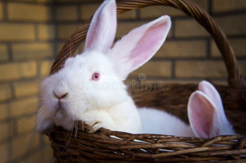 pequeños conejos blancos lindos imagen de archivo