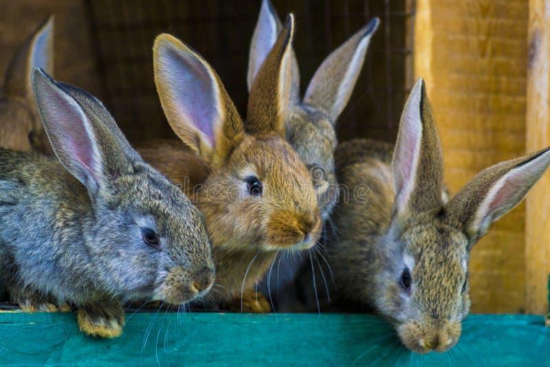 Pequeños conejos Conejo en jaula o aparador de la granja Conejos c de la cría foto de archivo