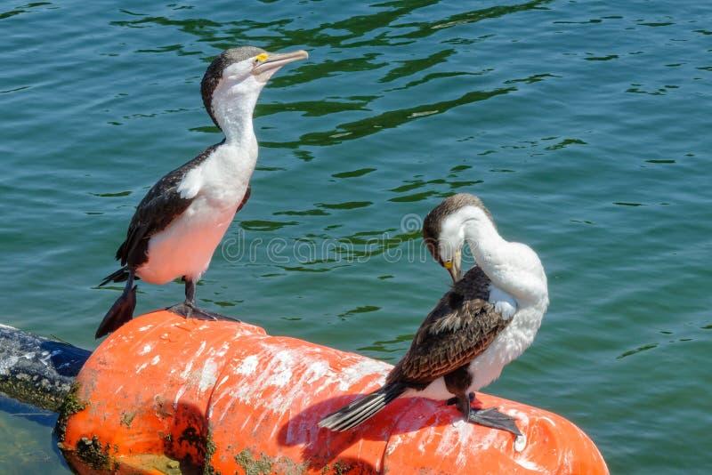 Pequeños cormoranes de varios colores - hada del puerto fotografía de archivo