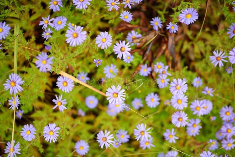 Pequeños crisantemos púrpuras en un jardín del otoño Flores violetas del crisantemo que florecen en un jardín El otoño de la bell foto de archivo libre de regalías