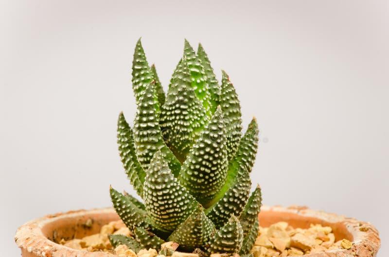 Peque os diversos tipos de plantas del cactus foto de for Clases de cactus