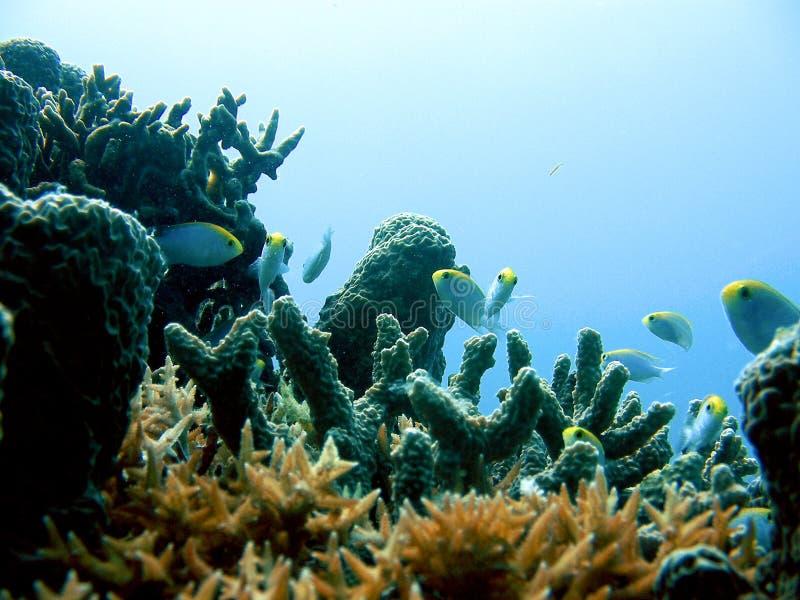 Pequeños fidhes y coral fotografía de archivo libre de regalías