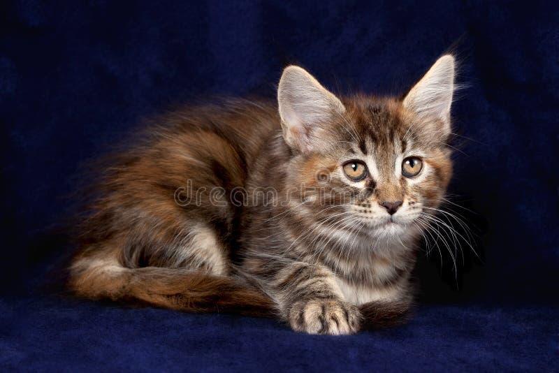 Pequeños gatitos hermosos fotografía de archivo libre de regalías