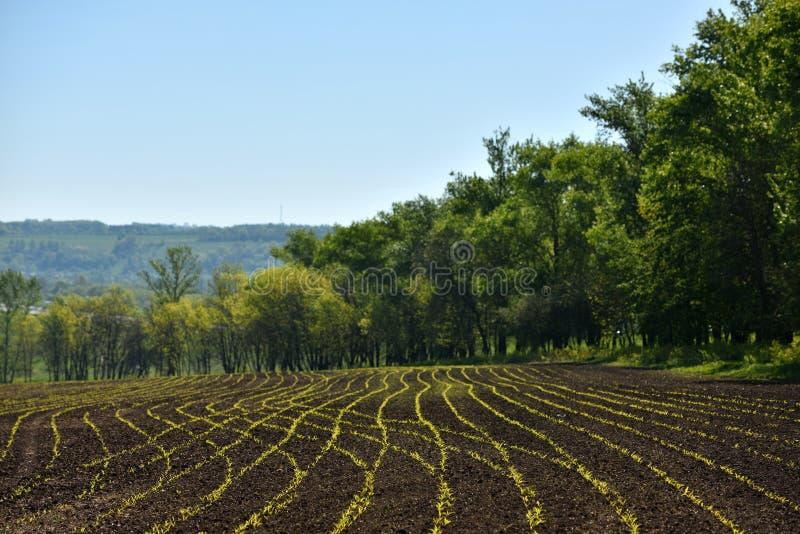 pequeños lanzamientos del maíz en un campo cerca del bosque fotografía de archivo libre de regalías