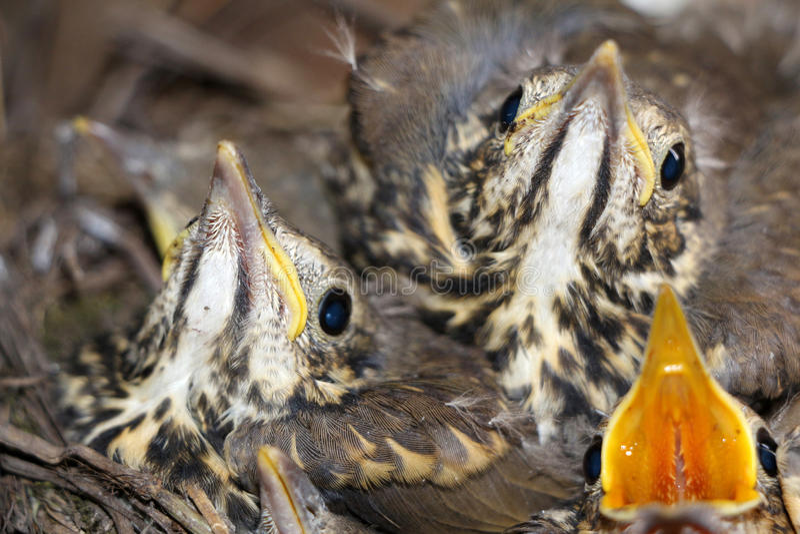 Pequeños pájaros de bebé que se sientan en la jerarquía, fotografía del primer de n imagen de archivo libre de regalías