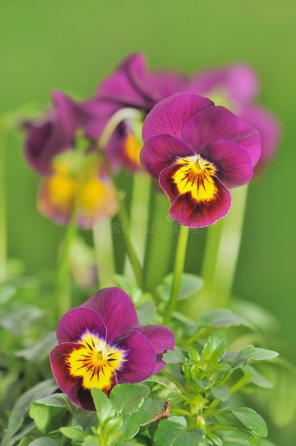 Pequeños pensamientos púrpuras hermosos imagenes de archivo