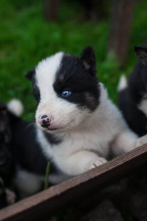 Pequeños perritos fornidos imagenes de archivo
