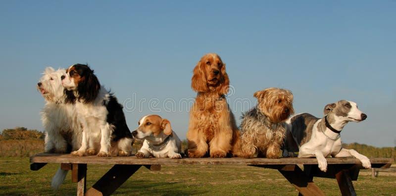 Pequeños perros fotos de archivo libres de regalías