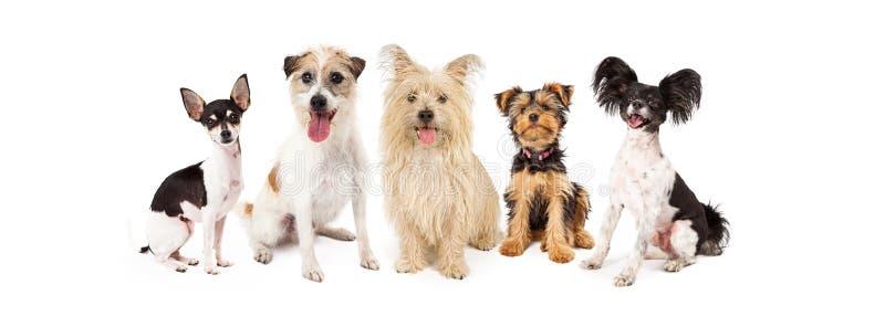 Pequeños perros comunes de la raza imágenes de archivo libres de regalías