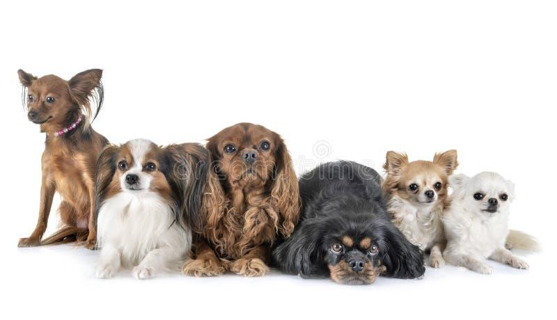 Pequeños perros en estudio fotografía de archivo