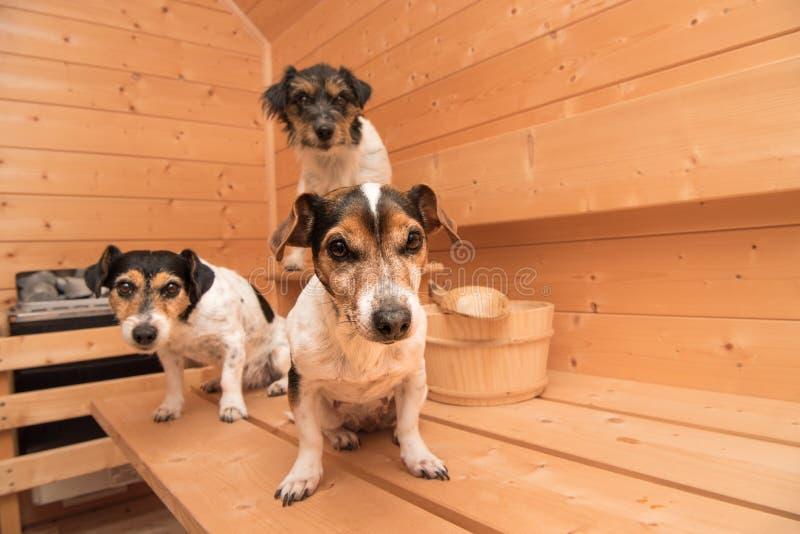 Pequeños perros lindos en la sauna - terrier de Russell de tres enchufes fotografía de archivo libre de regalías