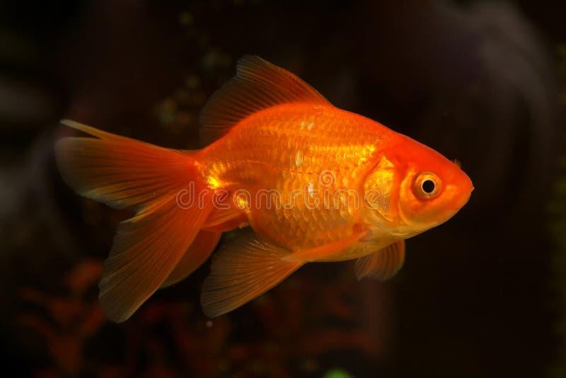Pequeños pescados del oro fotos de archivo