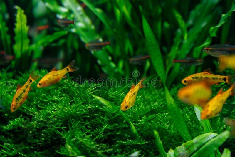 Pequeños pescados en acuario en un fondo verde fotografía de archivo