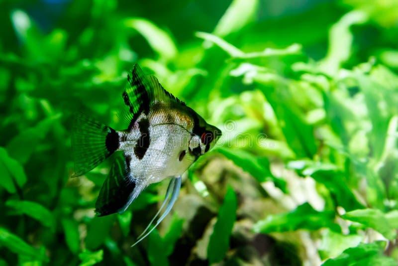 Pequeños pescados en acuario en un fondo verde fotos de archivo