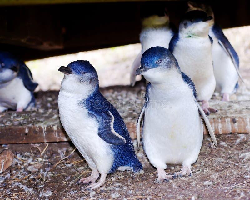 Pequeños pingüinos en la isla de Phillip imagen de archivo libre de regalías