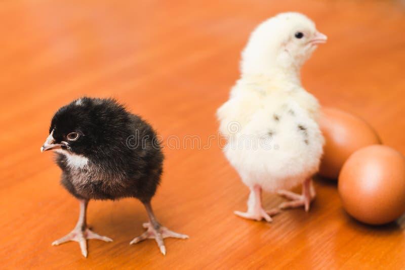Pequeños pollos blancos y negros y dos huevos del pollo en una superficie de madera fotos de archivo