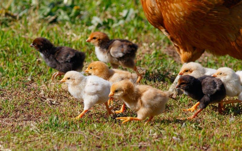 Pequeños pollos en granja foto de archivo