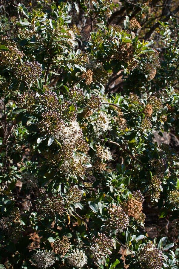 Arbusto con las peque as flores blancas spirea de van - Arbusto pequeno con flores ...