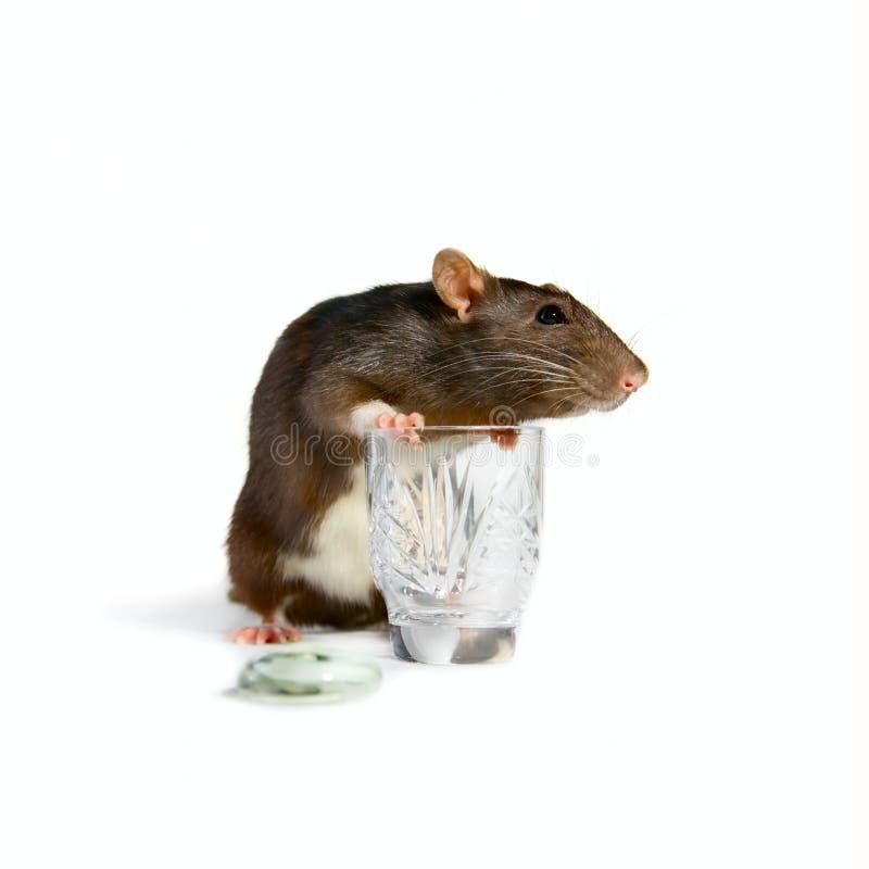 Pequeños rata y vidrio imagen de archivo