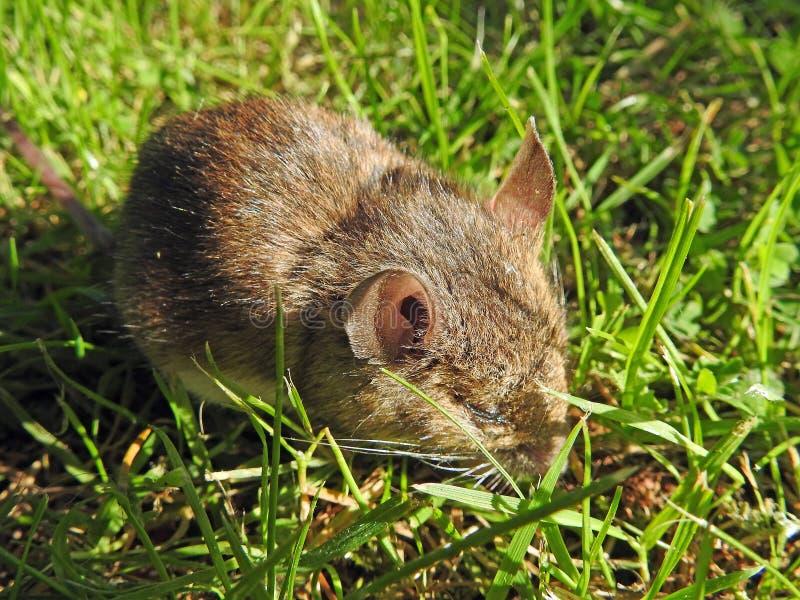 Pequeños ratones del ratón de la rata de la musaraña del campañol del bebé en campo imagen de archivo
