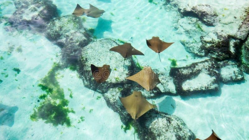 Pequeños rayos de picadura sanos que nadan pacífico fotos de archivo