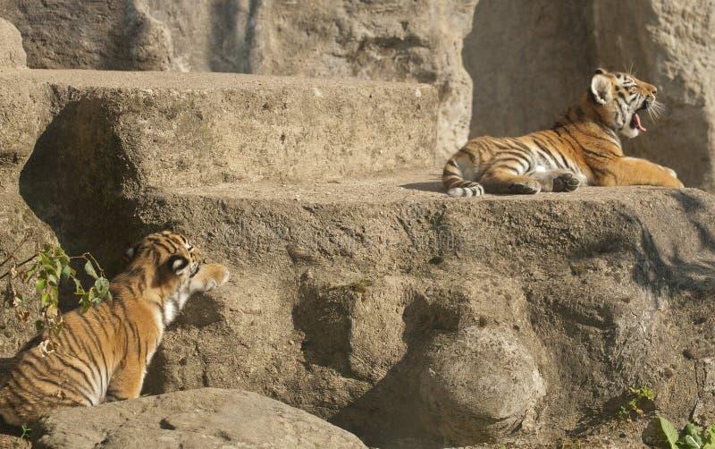 Pequeños tigres foto de archivo libre de regalías
