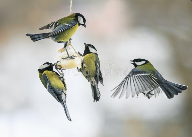 Pequeños Tits hambrientos de los pájaros en el alimentador del pájaro que comen la grasa foto de archivo libre de regalías