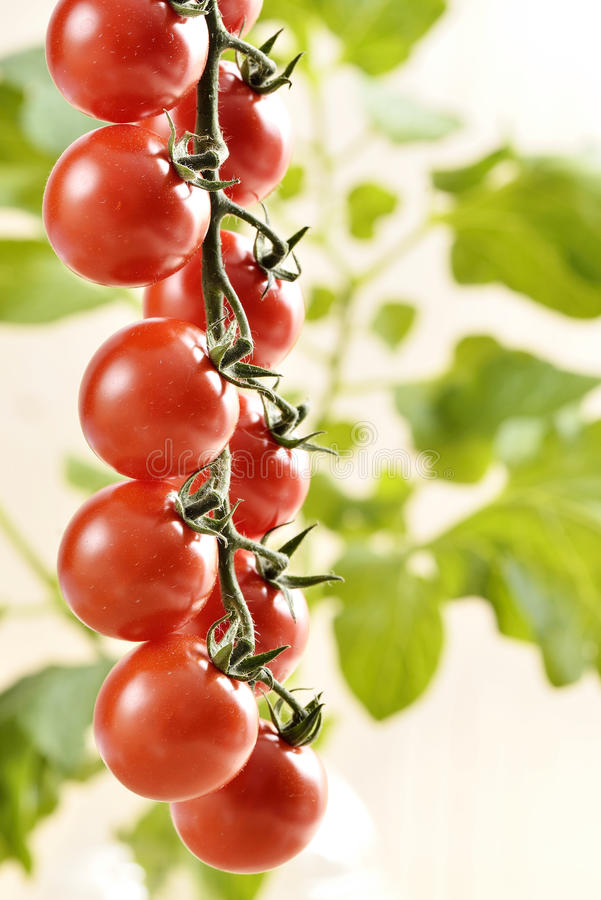 Pequeños tomates de cereza imagen de archivo libre de regalías