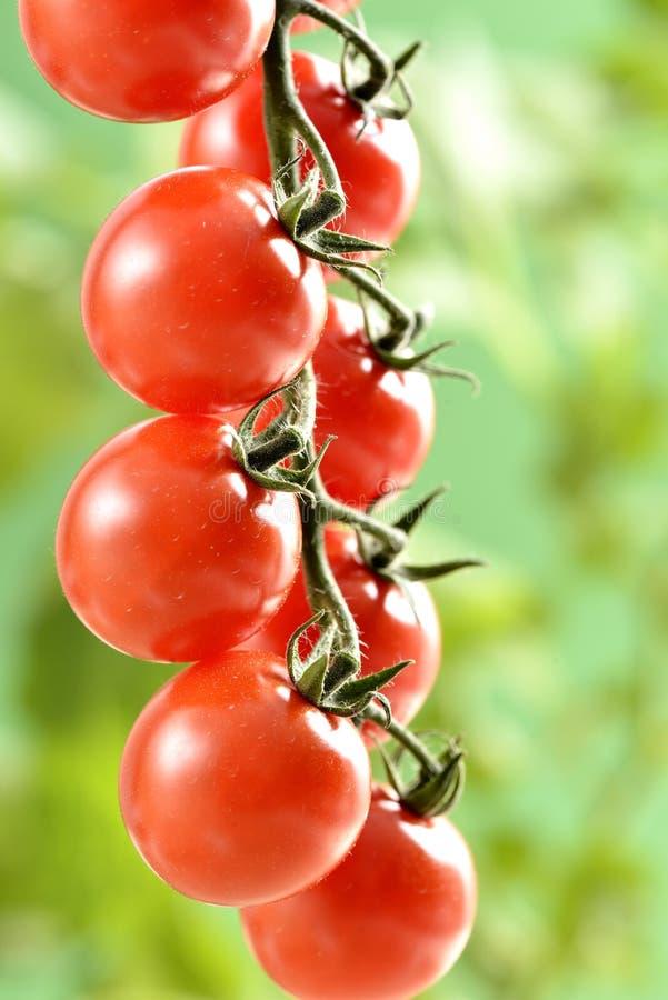 Pequeños tomates de cereza imagen de archivo