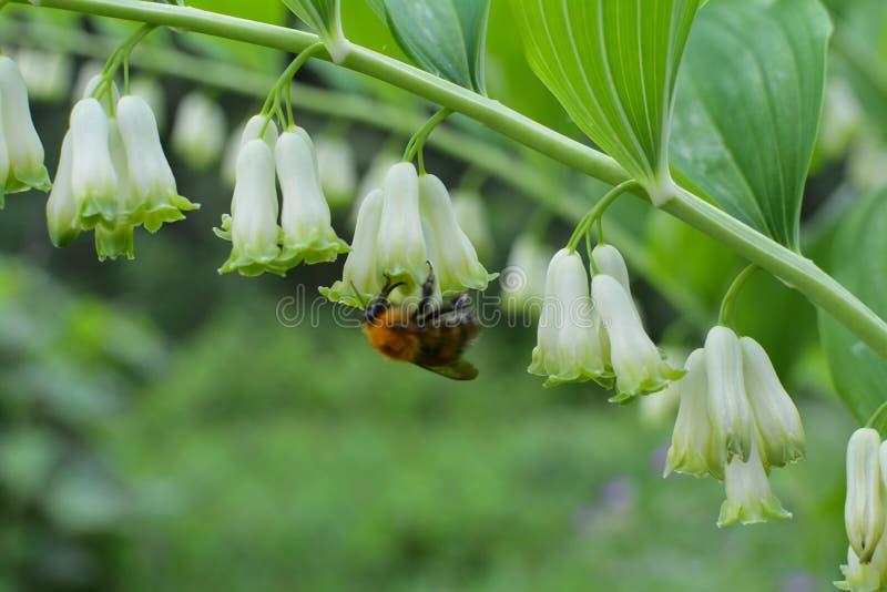 peque?a abeja en la flor blanca fotos de archivo
