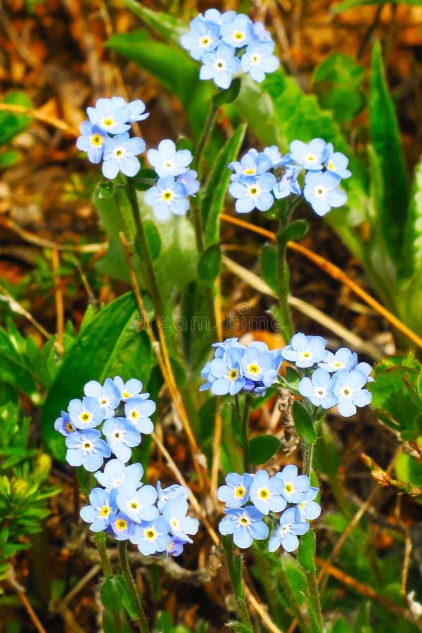 Peque?as flores azules de la nomeolvides en prado de la primavera imágenes de archivo libres de regalías