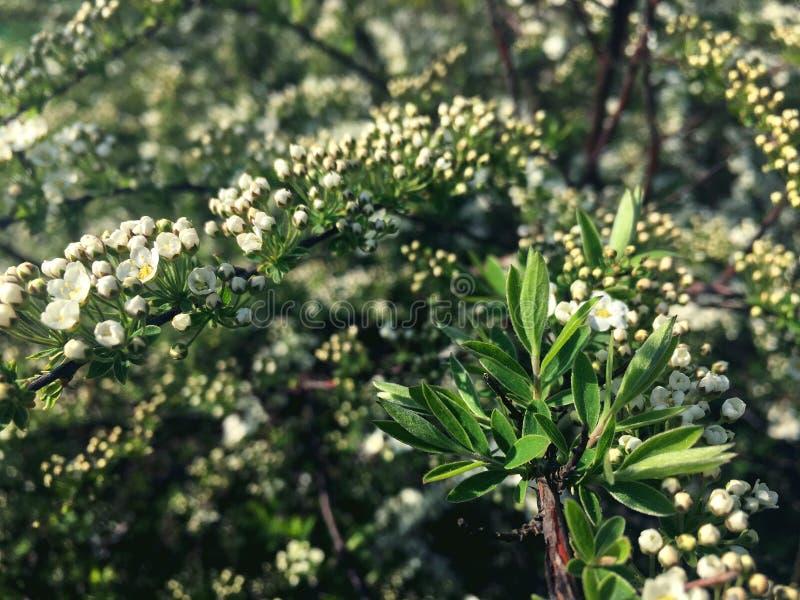 Peque?as flores en una rama del spirea fotos de archivo