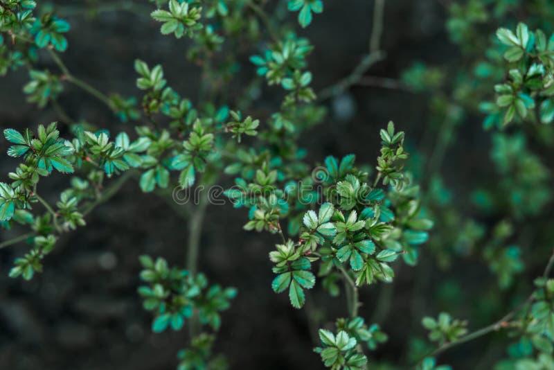 Peque?as hojas verdes de Bush en fondo de la naturaleza fotos de archivo