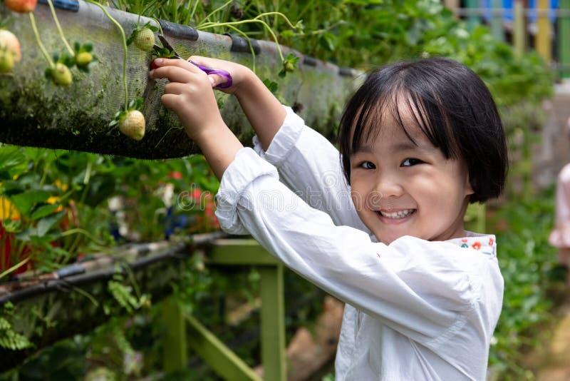 Peque?a muchacha china asi?tica que escoge la fresa fresca fotografía de archivo libre de regalías