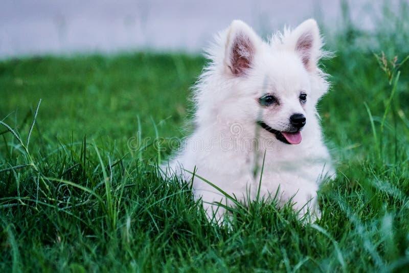 Peque?o perro blanco lindo que se sienta en la hierba fotografía de archivo