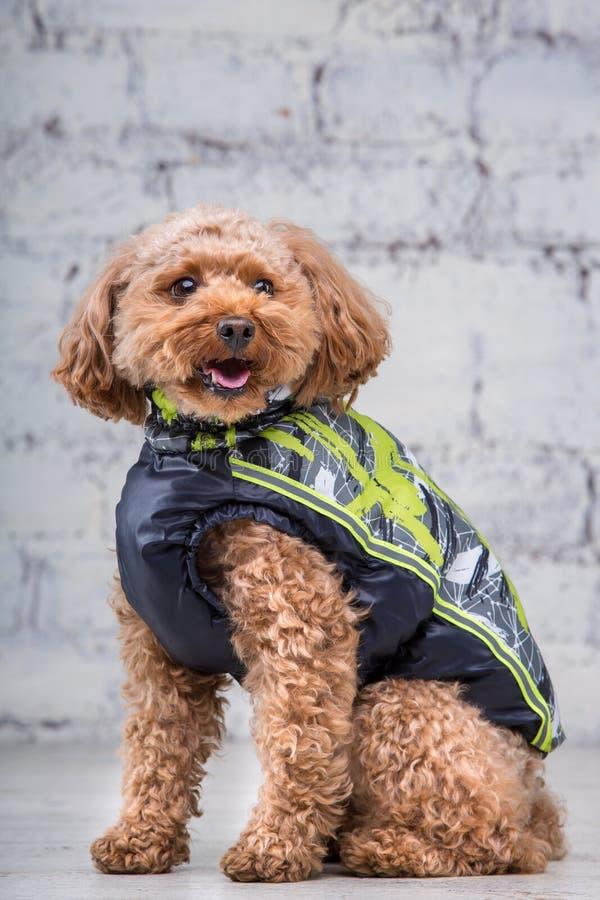 Peque?o perro divertido del color marr?n con el pelo rizado de la raza del caniche de juguete que presenta en la ropa para los pe fotos de archivo