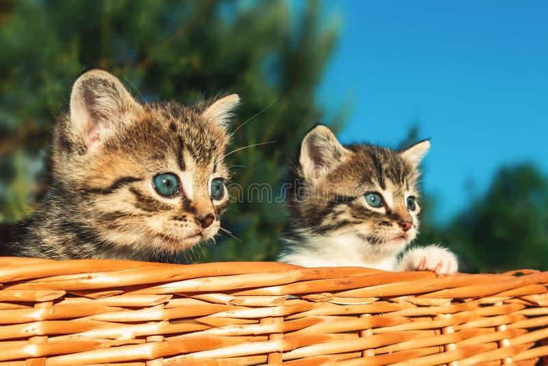 Peque?os gatitos asustados preciosos que miran a escondidas de la cesta, al aire libre imagen de archivo