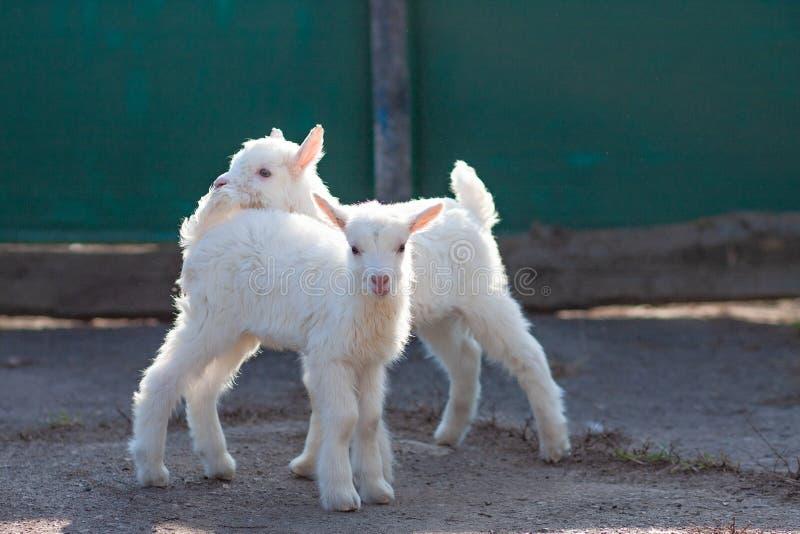 Peque?os goatlings agradables blancos que exploran el mundo fotos de archivo