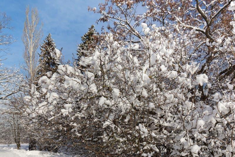 Peque?os ?rboles fuertemente nevados Invierno, d?a soleado escarchado foto de archivo
