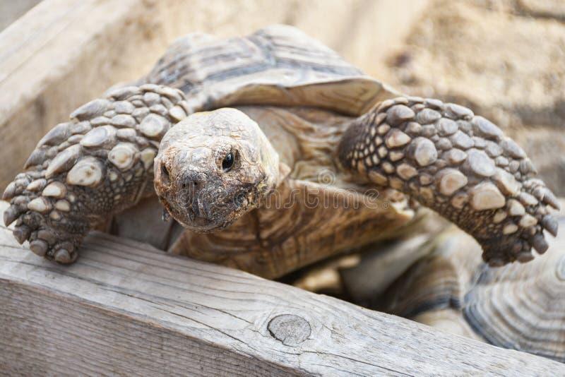 Peque?a tortuga de la tierra dentro de la cerca de madera en el patio trasero fotografía de archivo