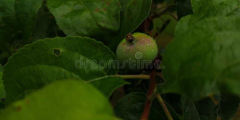 Pequena maçã verde não madura com gotas de chuva fotografia de stock royalty free