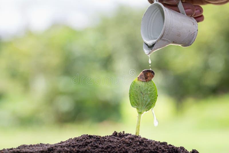 Pequenas árvores estão crescendo, mãos para cuidar e regar Conceito de conservação ambiental e redução do aquecimento global imagem de stock