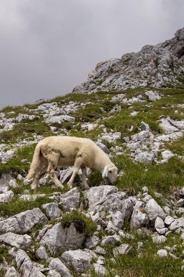 Pequenas ovelhas a pastar perto da montanha Triglav imagem de stock royalty free